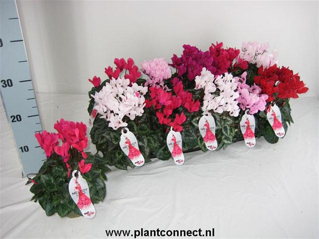 022 Cyclamen Persicum kleinblumig