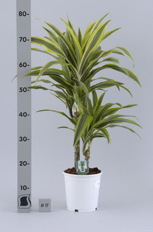 025 Dracaena Der.Lemon lime