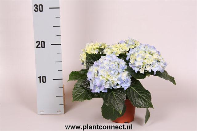 036 Hydrangea macrophylla