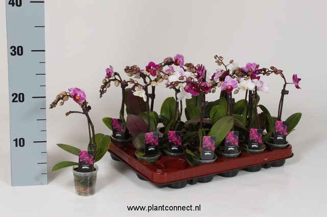 046 Phalaenopsis Little Love 1-Trieber