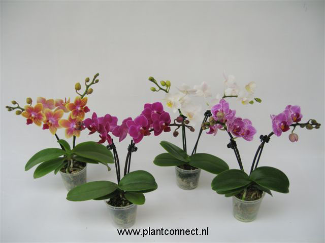 047 Phalaenopsis Little Love 2- trieber