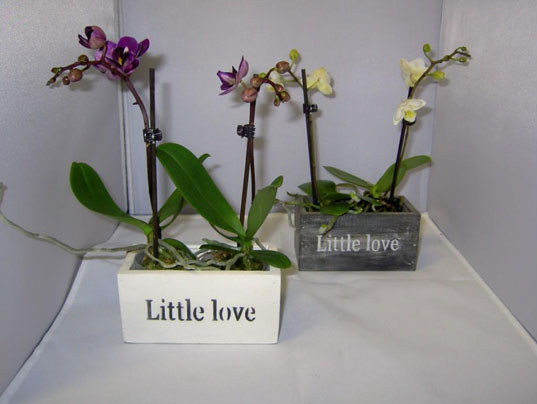 048 Phalaenopsis Little Love 1-Trieber