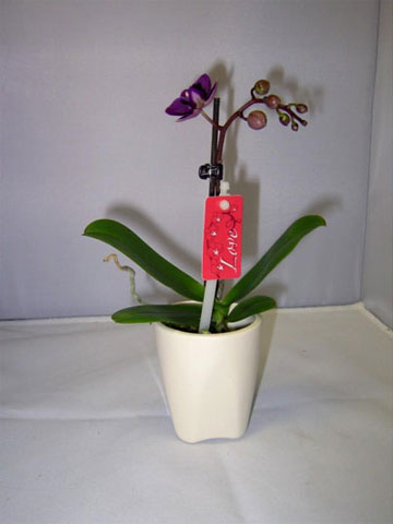 049-Phalaenopsis-Little-Love