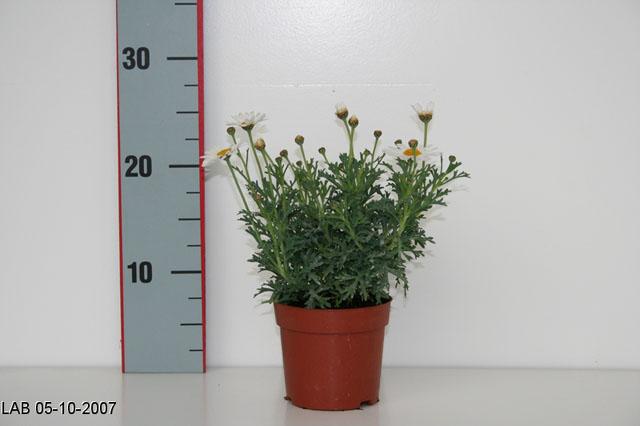 065 Argyranthenum frutescens