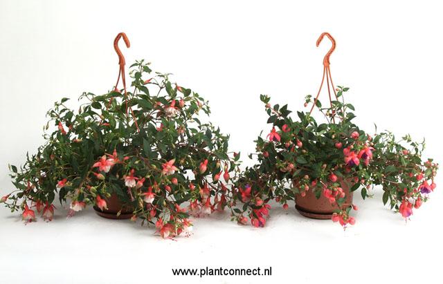 079 Fuchsia Ampel