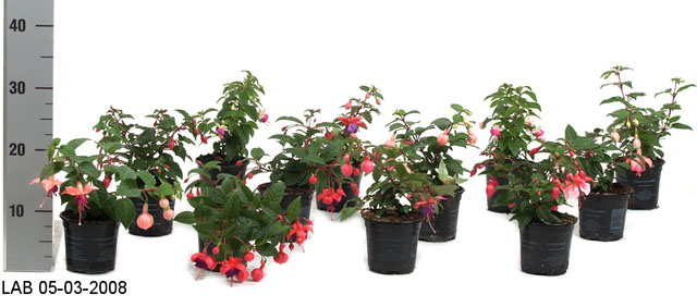 080 Fuchsia haengend