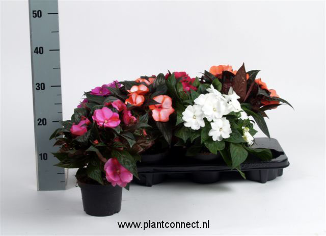 085 Impatiens New Hguiinea