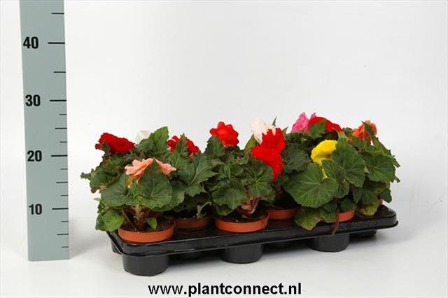090 (Knol)Begonia tuberosa