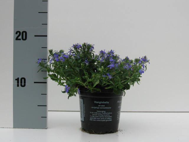 092 Lobelia Richardii