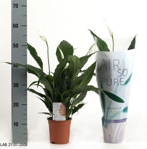 116 Spathiphyllum
