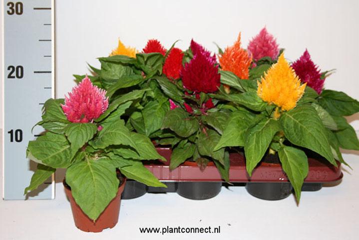 119 Celosia plumosa Schale