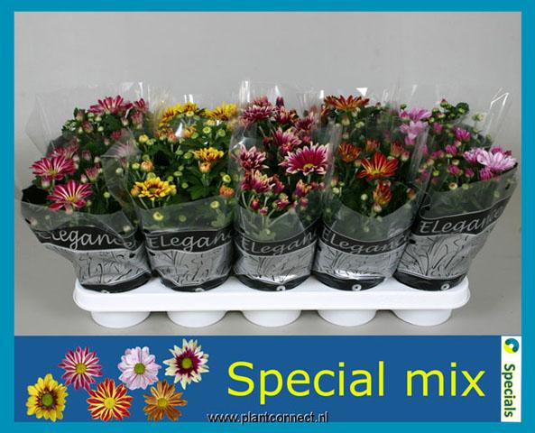 122 Chrysanthemum 2 farbig