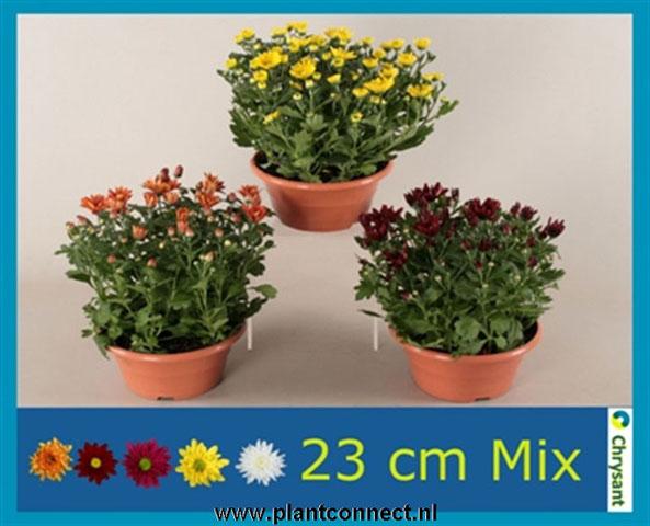 124 Chrysanthemum Schale