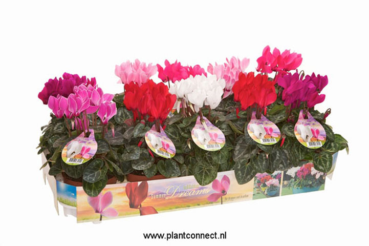 129 Patio cyclamen summer dreams 10,5 cm