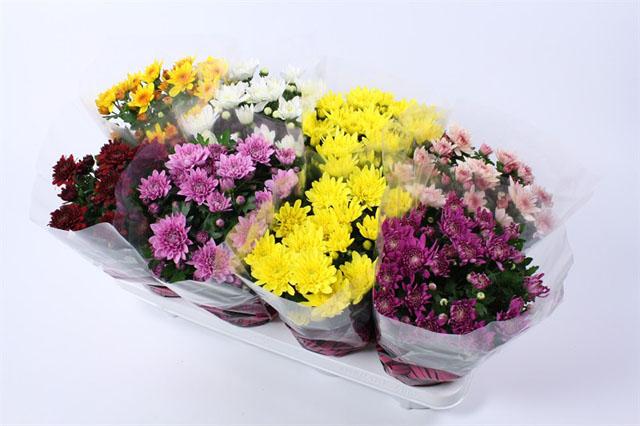 151 Chrysanthemum gefullt 14 cm