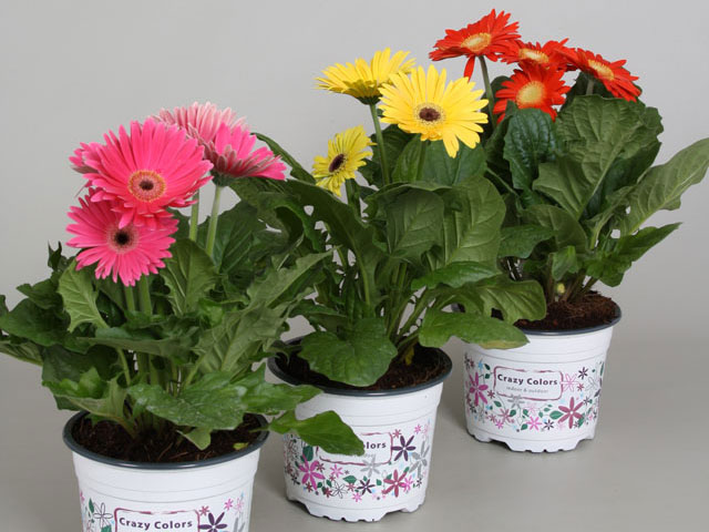 160-Gerbera-Crazy-Colors-15cm-(2)