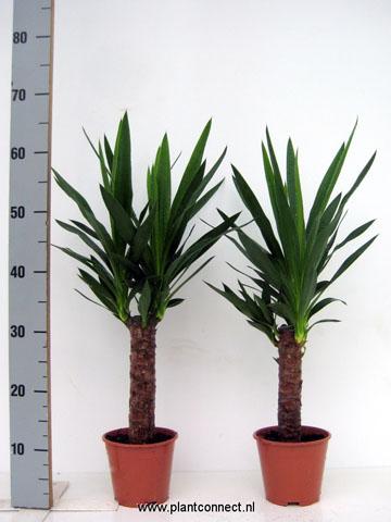 162 Yucca enkel stamm 14 cm