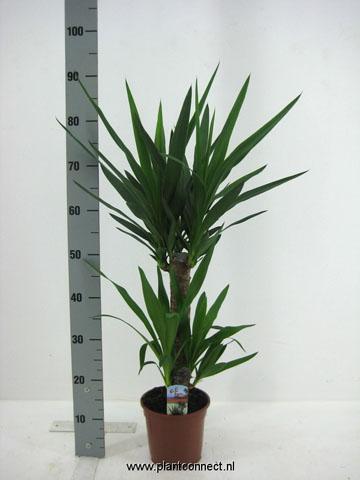 163 Yucca 4520 17 cm