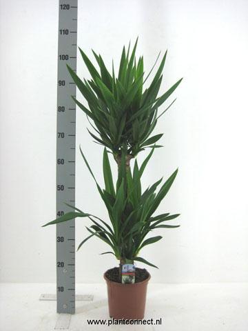 164 Yucca 6520 119 cm