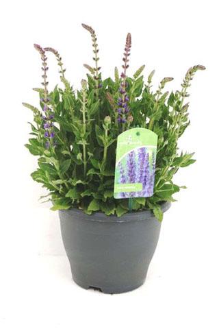 173 Salvia nemerosa Ost Friesland bleu 20 cm