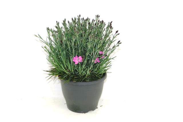 175 Dianthus caryophillis Dinetta 14 cm