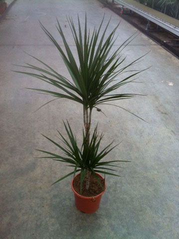183 Dracaena marginata 45-15 toef 3 19 cm