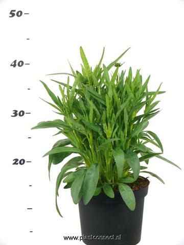 188 Coreopsis 17 cm