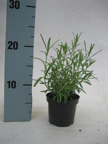 198-lavandula-9-cm