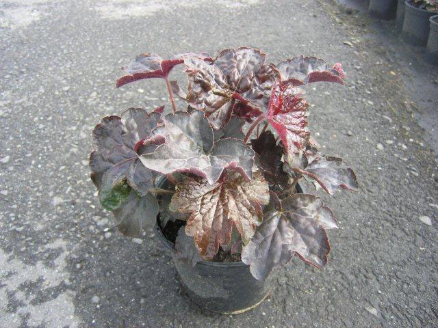 203-heuchera-palace-purple-p17