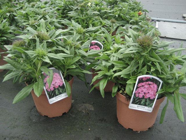 dianthus barbathus