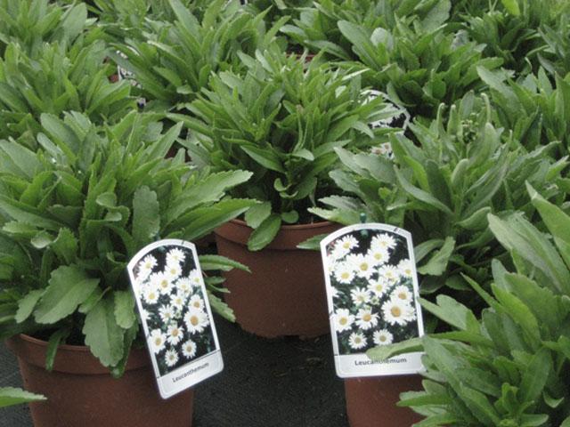 leucanthemum
