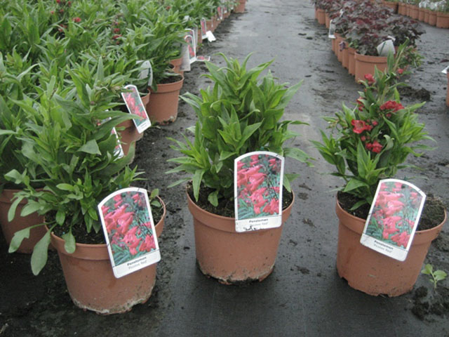 penstemon picotee red