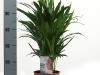 020 Chrysaldicarpus lutescens