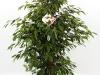 029 Ficus Anastasia