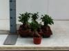 030 Ficus Ginseng