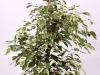 031 Ficus Twilight