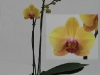 045 Phalaenopsis 2Trieber solid gold