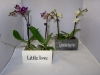 048 Phalaenopsis Little Love 1-Trieber