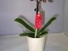 049-Phalaenopsis-Little-Love