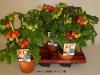 050 Tomata Pick and Joy