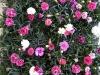 078 Dianthus in Sorten