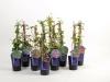 088 Kletterpflanzen Mix in Sorten