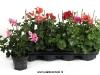094 Pelargonium haengend
