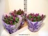 118 Celosia caracas Schale