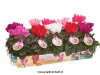 129 Patio cyclamen summer dreams 10,5 cm