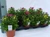 150 Chrysantemum carnaval 12 cm