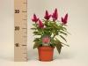 152 Celosia caracas 12 cm