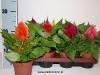 153 Celosia plumosa 10 cm