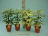 165 Schefflera mix 13 cm