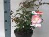 195-rosa-grootbloemig-lizens-rp23